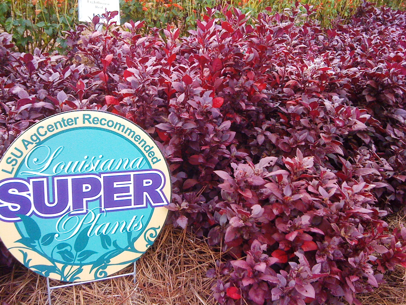 Joseph's coat provides colorful foliage; Little Ruby variety named Super Plant