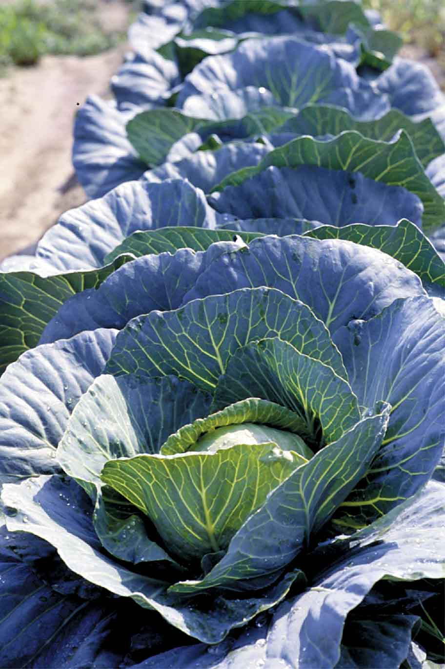 Recommended Rates of Trifluralin Affect Direct-seeded Cabbage Stands