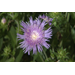 Native Stokes aster flowers return every year