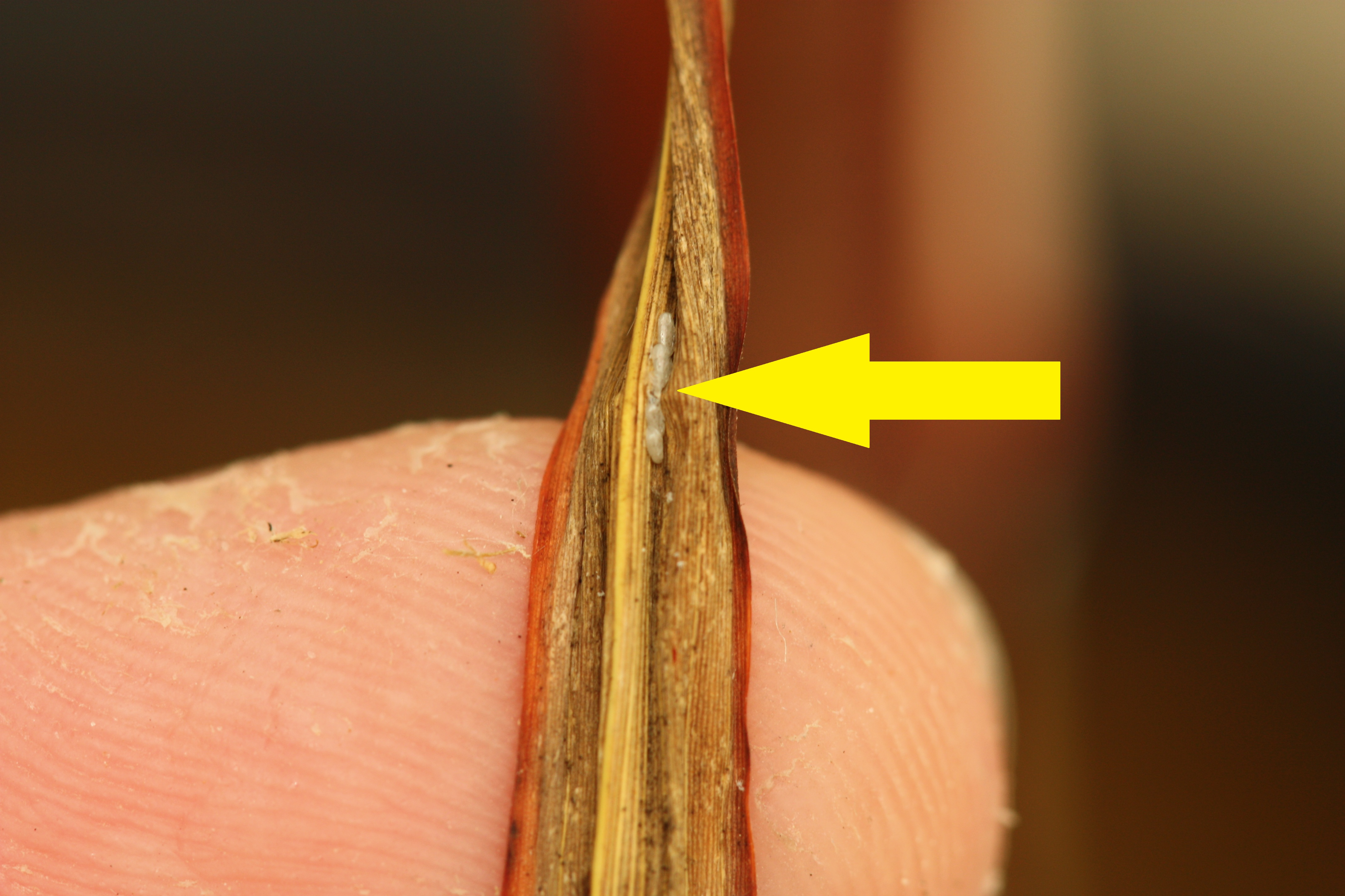 Mexican rice borer egg cluster on a dry johnsongrass leaf.