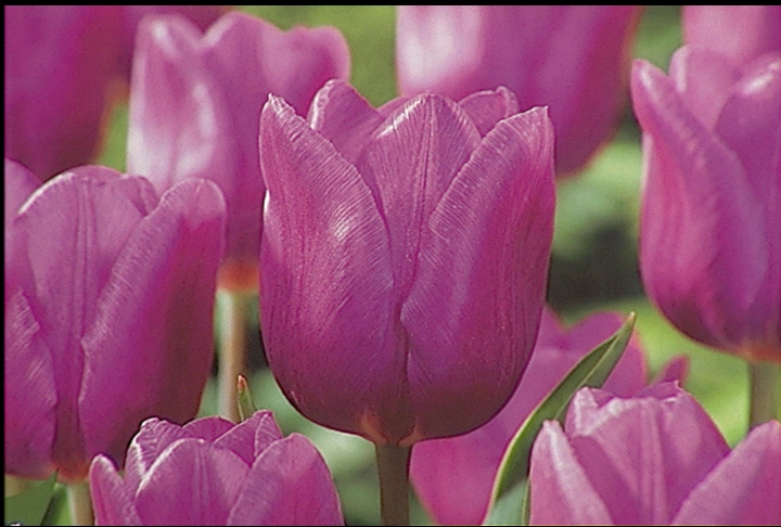Prepare gardens for spring bulbs