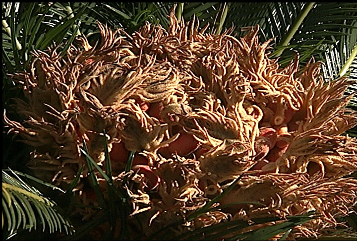 Popular sago palm produces poisonous seeds