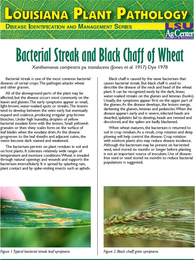 Bacterial Streak and Black Chaff of Wheat