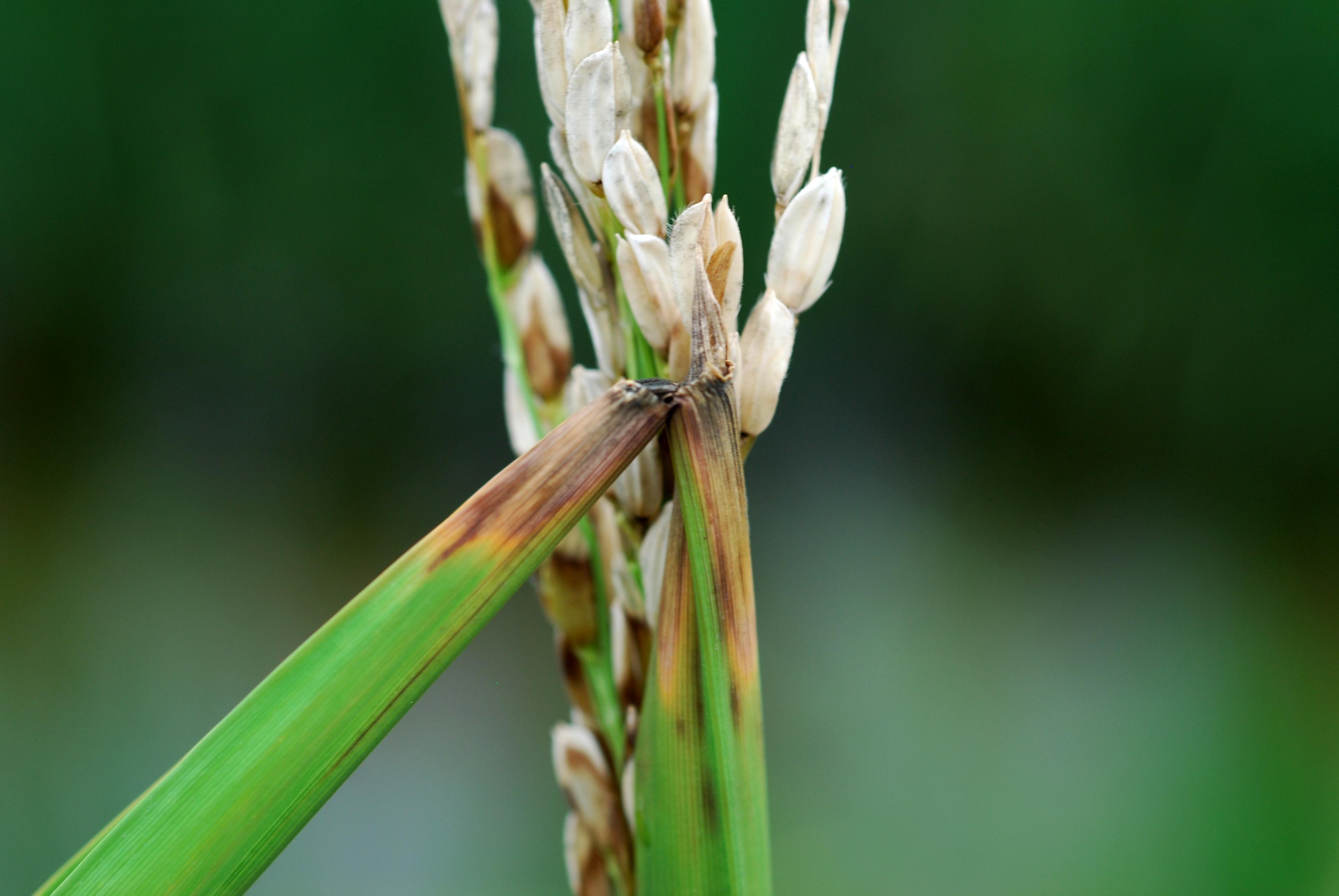 Rice Flag Leaf Collars