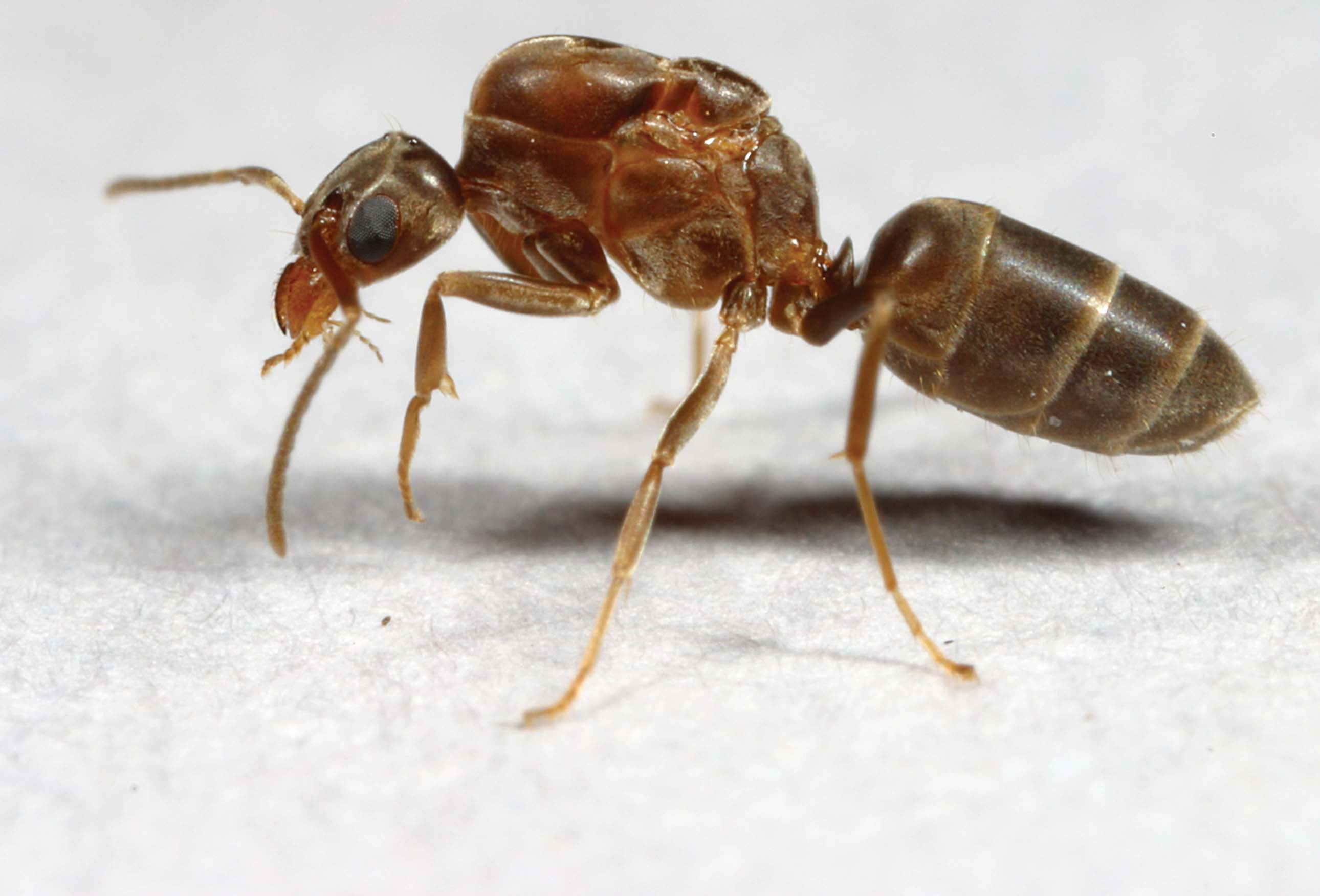 Communitywide Control of Argentine Ants in Louisiana