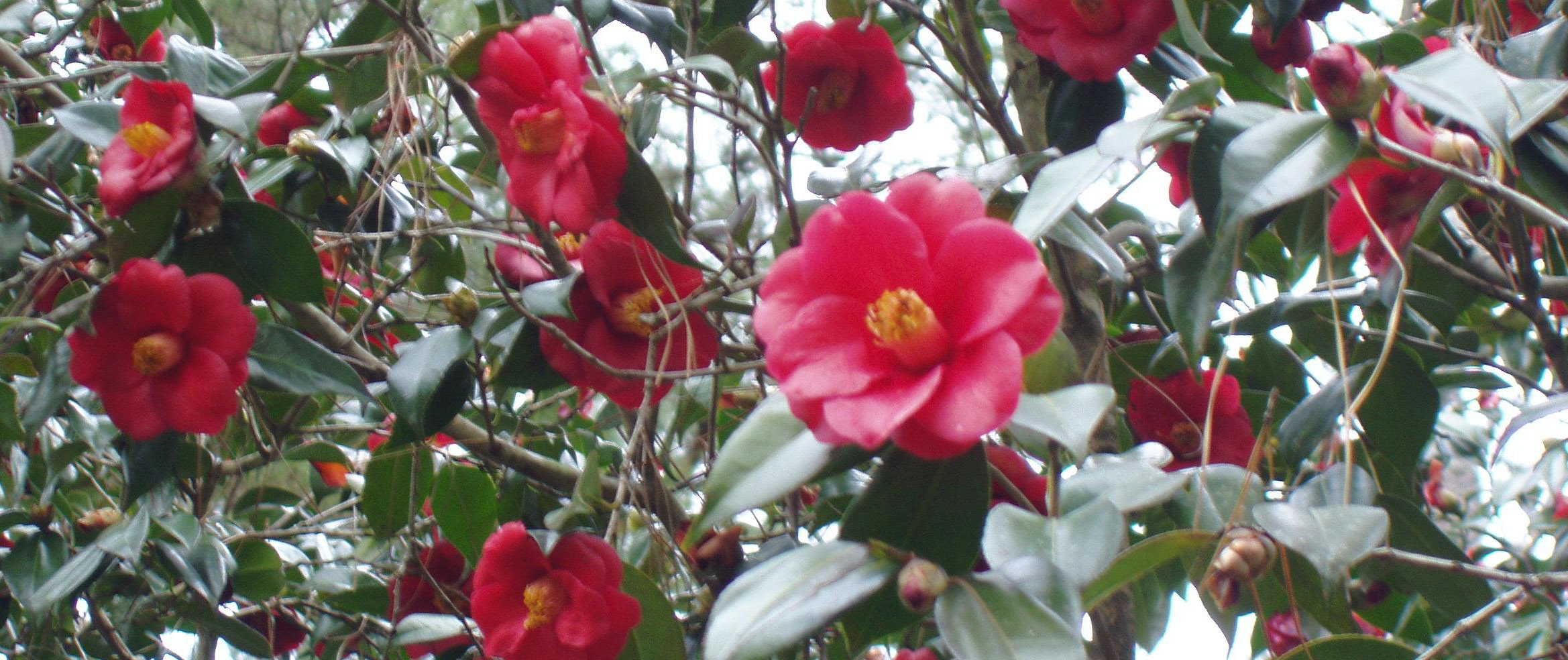 Camellia Garden at the Hammond Research Station