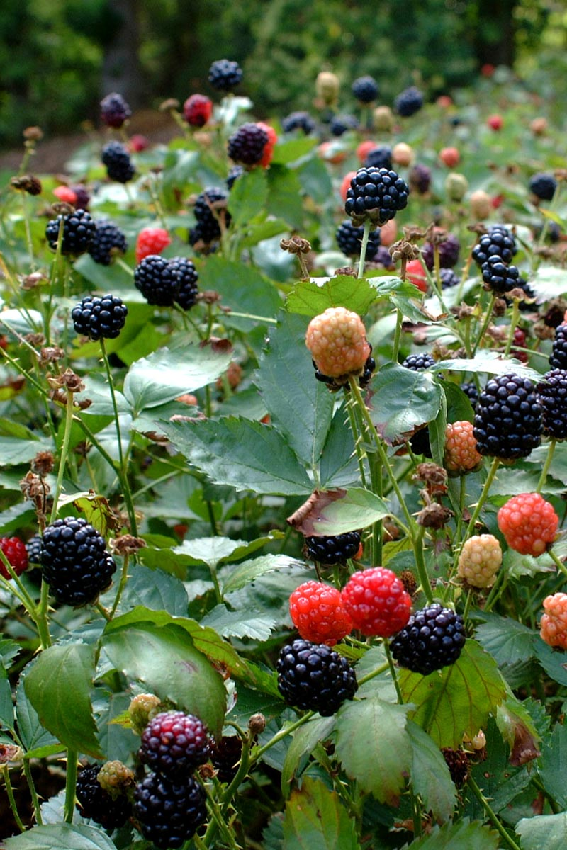 Blackberries:  Discover the keys to a successful crop