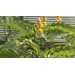 Get It Growing: Golden color, easy care make candlestick plant ideal for fall