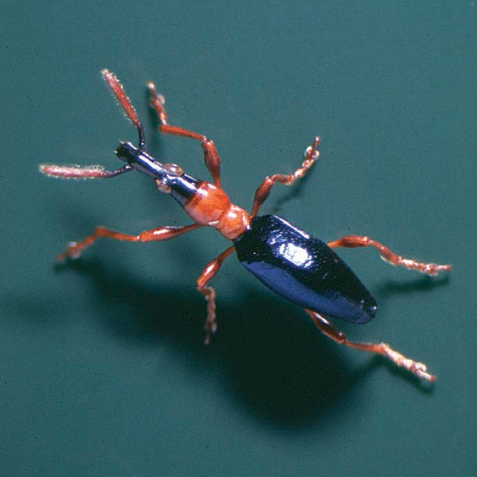 Sweetpotato weevil