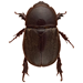 Managing Sugarcane Beetles in Louisiana Sweet Potatoes