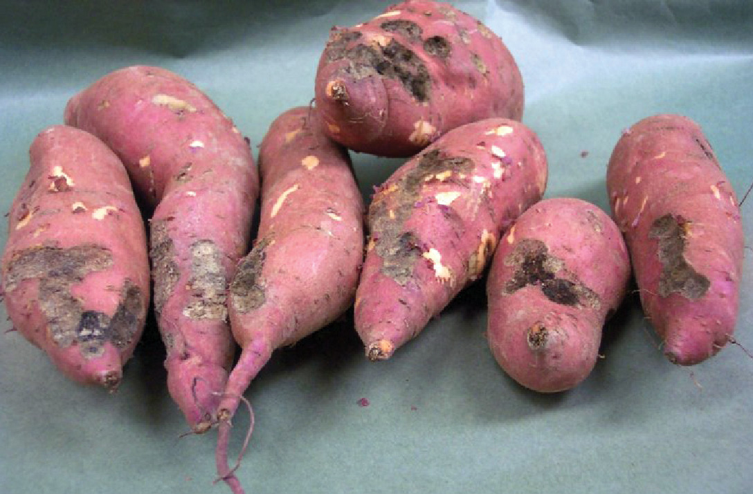 Sweet potatoes with sugarcane beetle injury