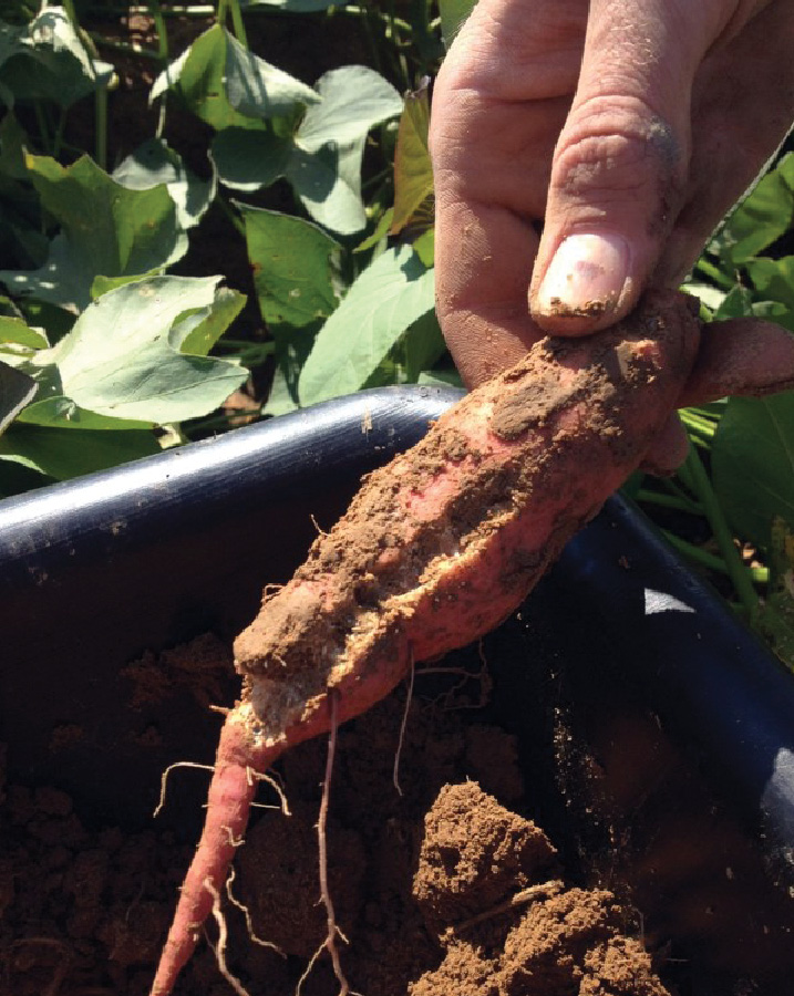 sweet potato root