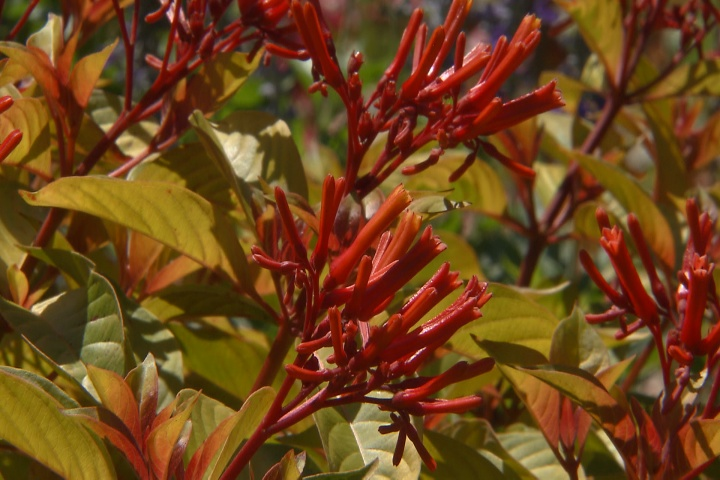 Lime Sizzler firebush lights up a landscape