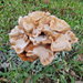 'Tis the Season for Armillaria Mushrooms