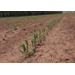 Weather interferes with Louisiana corn crop