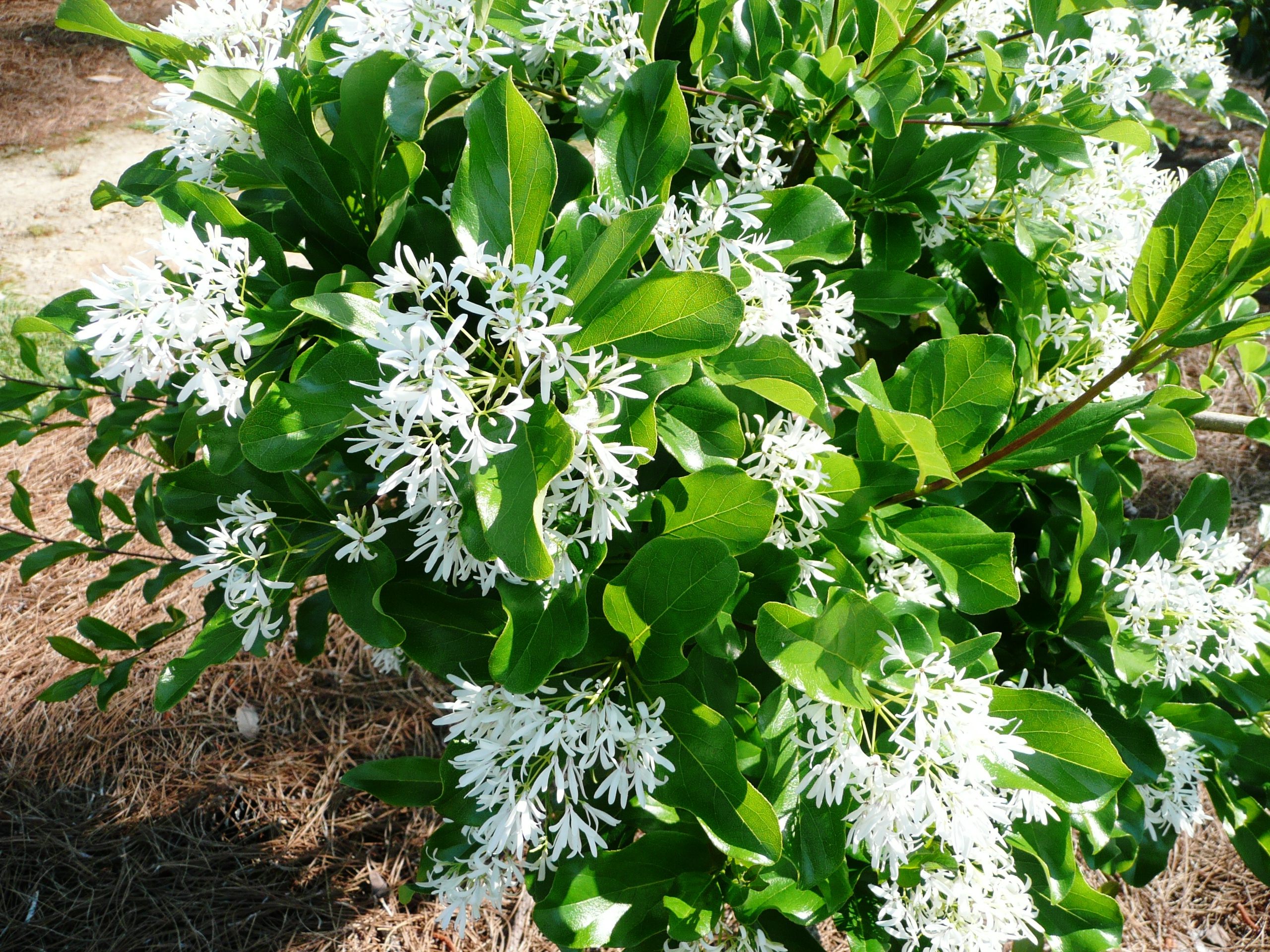 Fringe Trees – Ornamental plant of the week for February 3, 2014