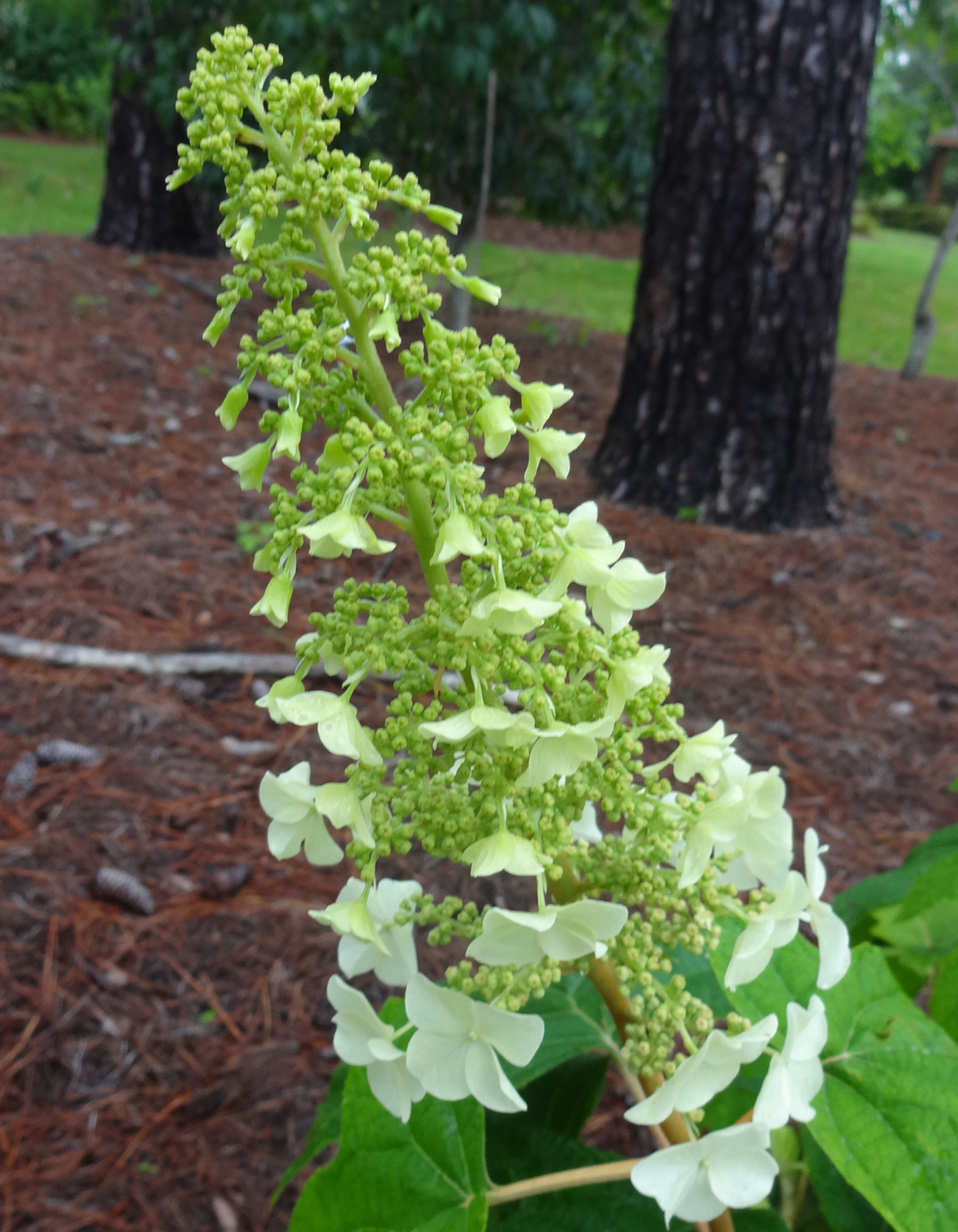 Check Out This Alternative Hydrangea