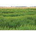 Reducing the Potential for Herbicide-resistant Red Rice
