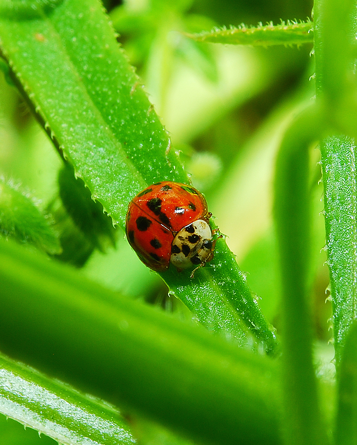 Asian ladybeetle showing up in Louisiana