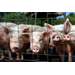 Swine Premier Exhibitor Study Guide