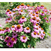 New coneflower selections offer variety