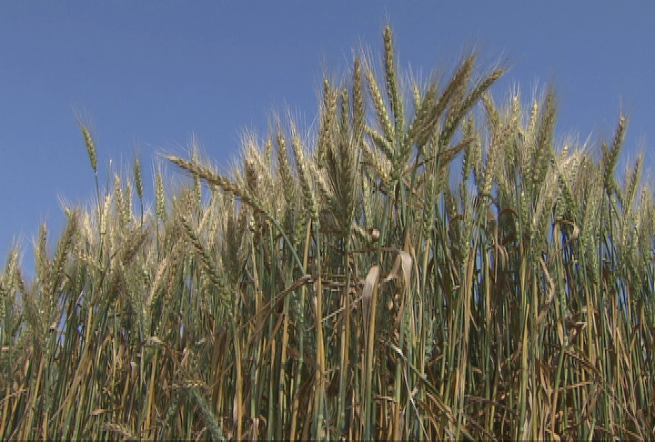 Wheat crop maturing early