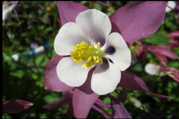 Swan columbine is tough, colorful Super Plant