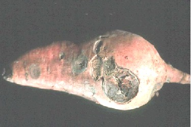Photo of Circular Spot on sweet potato