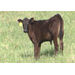 Beef Cattle Research