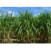 Potential Ethanol, Butanol Production from Sweet Sorghum, Energycane