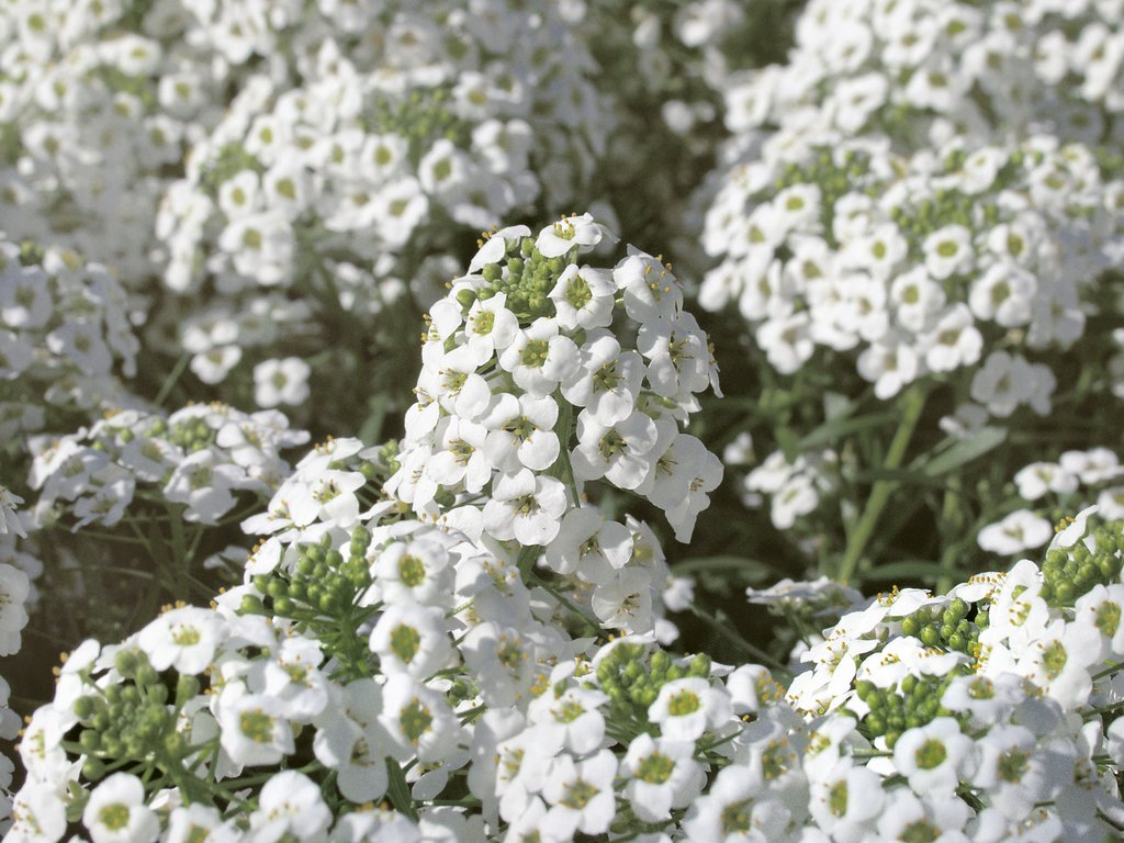 Sweet alyssum hybrids enhance cool-season containers, landscape beds