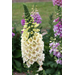 Camelot Foxglove – Ornamental Plant of the Week for November 3, 2014