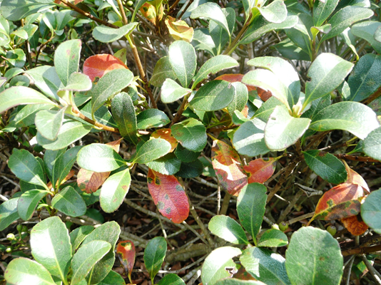 Leaf Disease Showing Up On Indian Hawthorne Other Woody