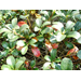 Leaf disease showing up on Indian hawthorne, other woody ornamental plants