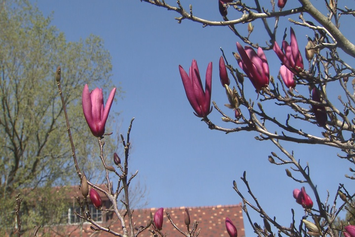 Japanese magnolias can be planted now