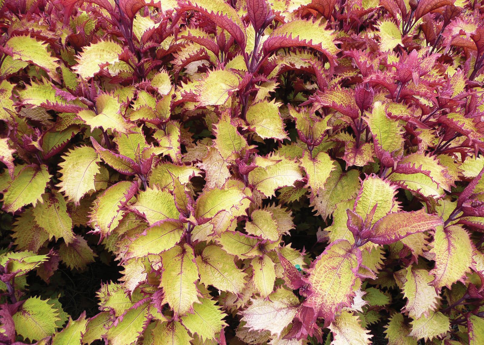Louisiana Super Plants Warm Season Flowers