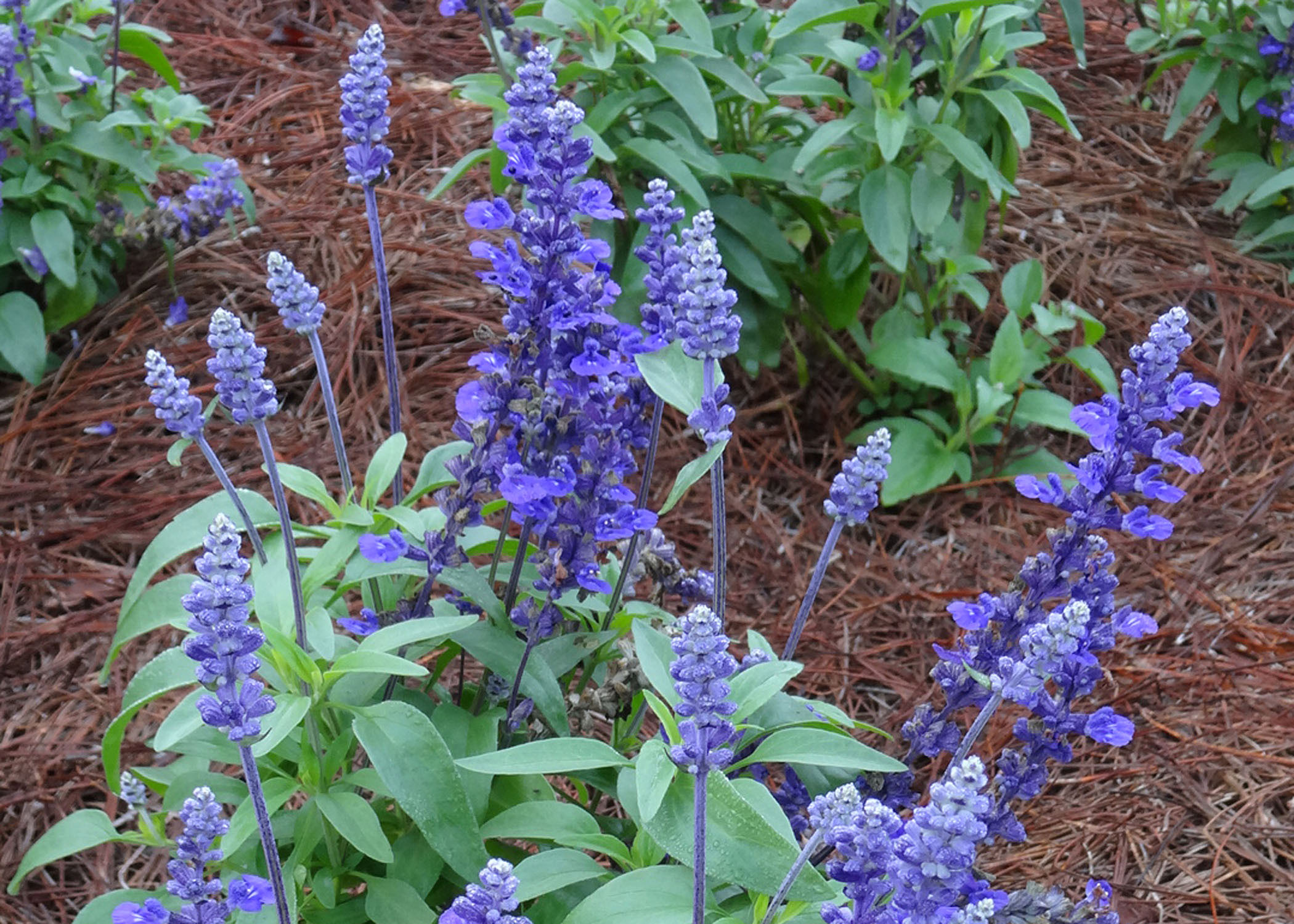 Evolution Violet Salvia.jpg thumbnail