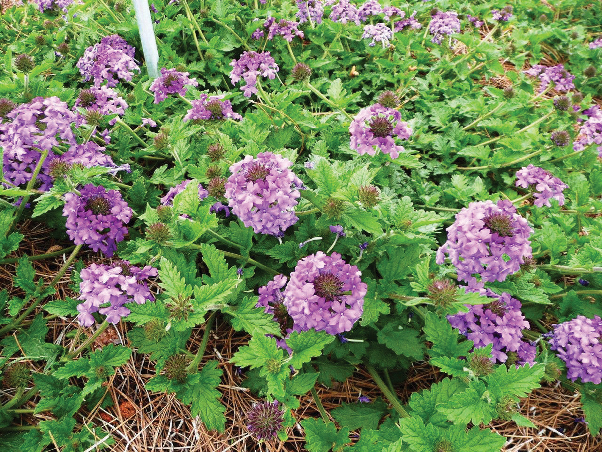 Homestead Purple Verbena.jpg thumbnail