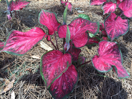 Consider growing caladiums this summer