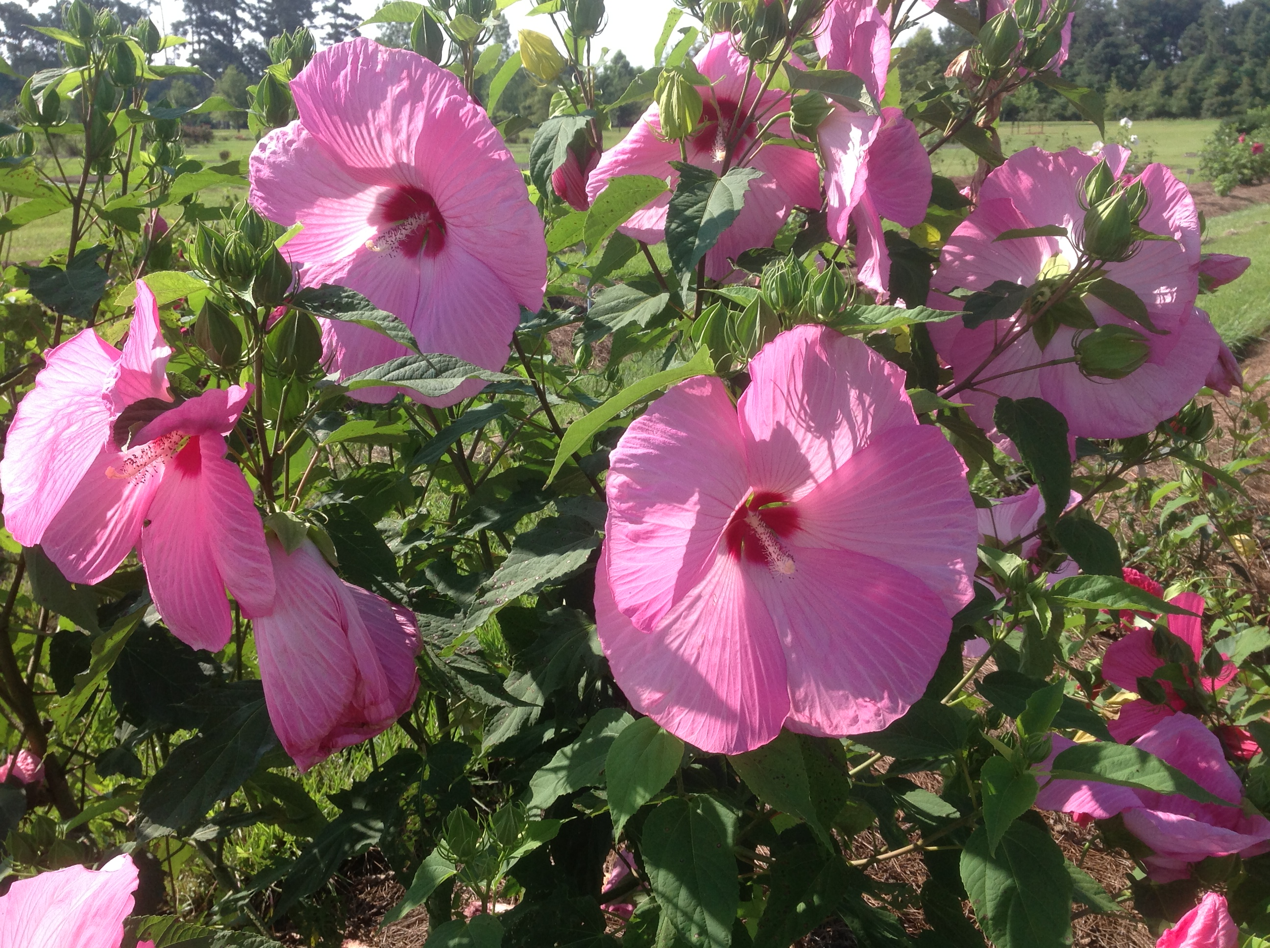 Louisiana gardeners have many hibiscus choices