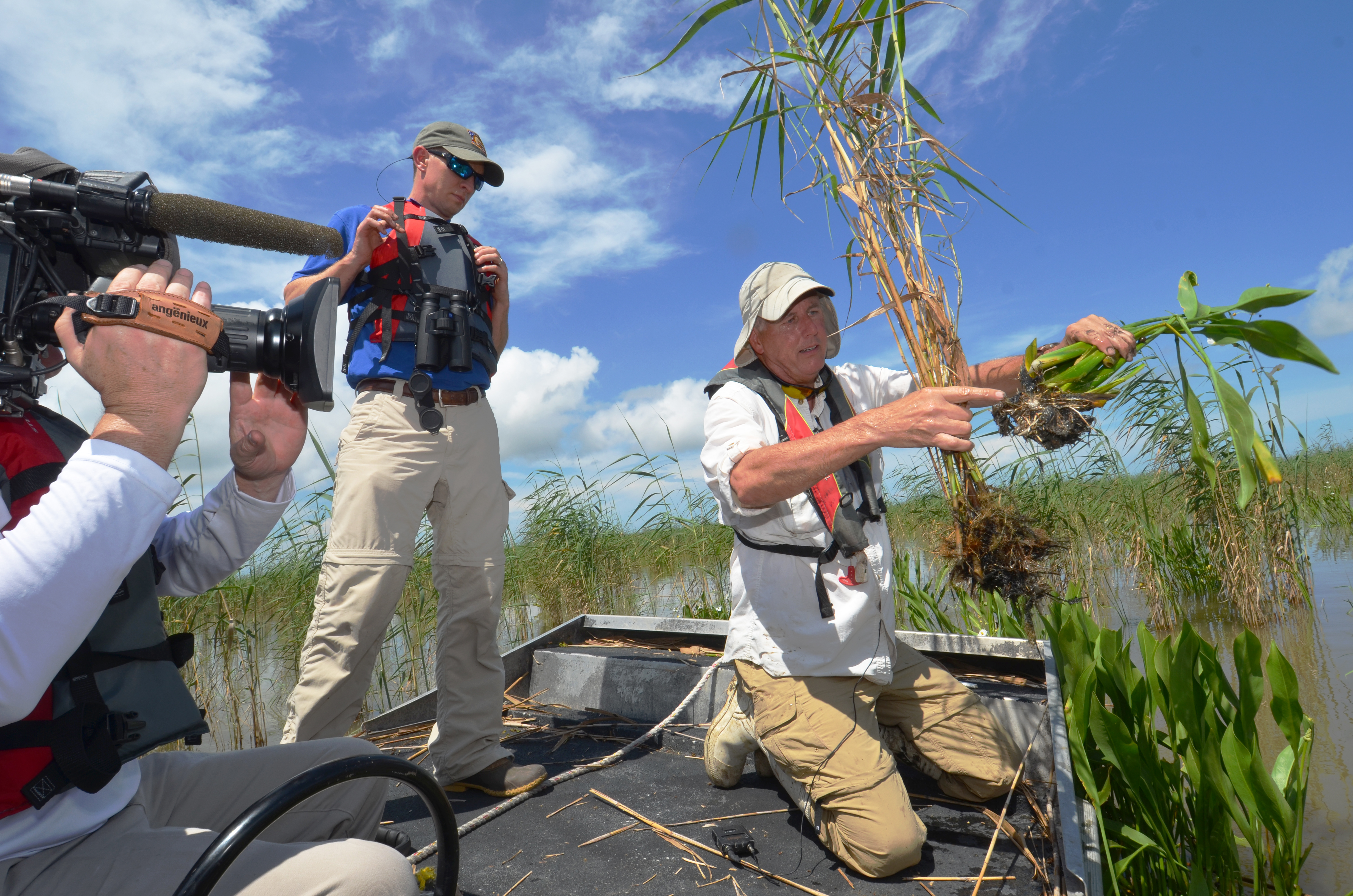 Endangered Roseau Cane Key to Mississippi River Delta Survival