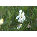 Dont prune gardenias until late May early June