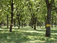 Prior to thinning, the spacing in the Pecan Research-Extension Station's rootstock orchard was 30 ft