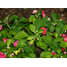 New disease infects Louisiana impatiens