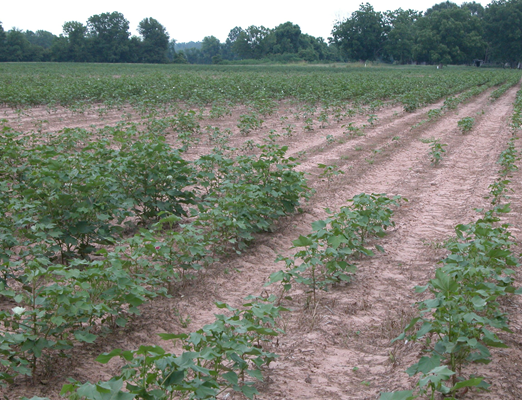 cotton showing severe stunting