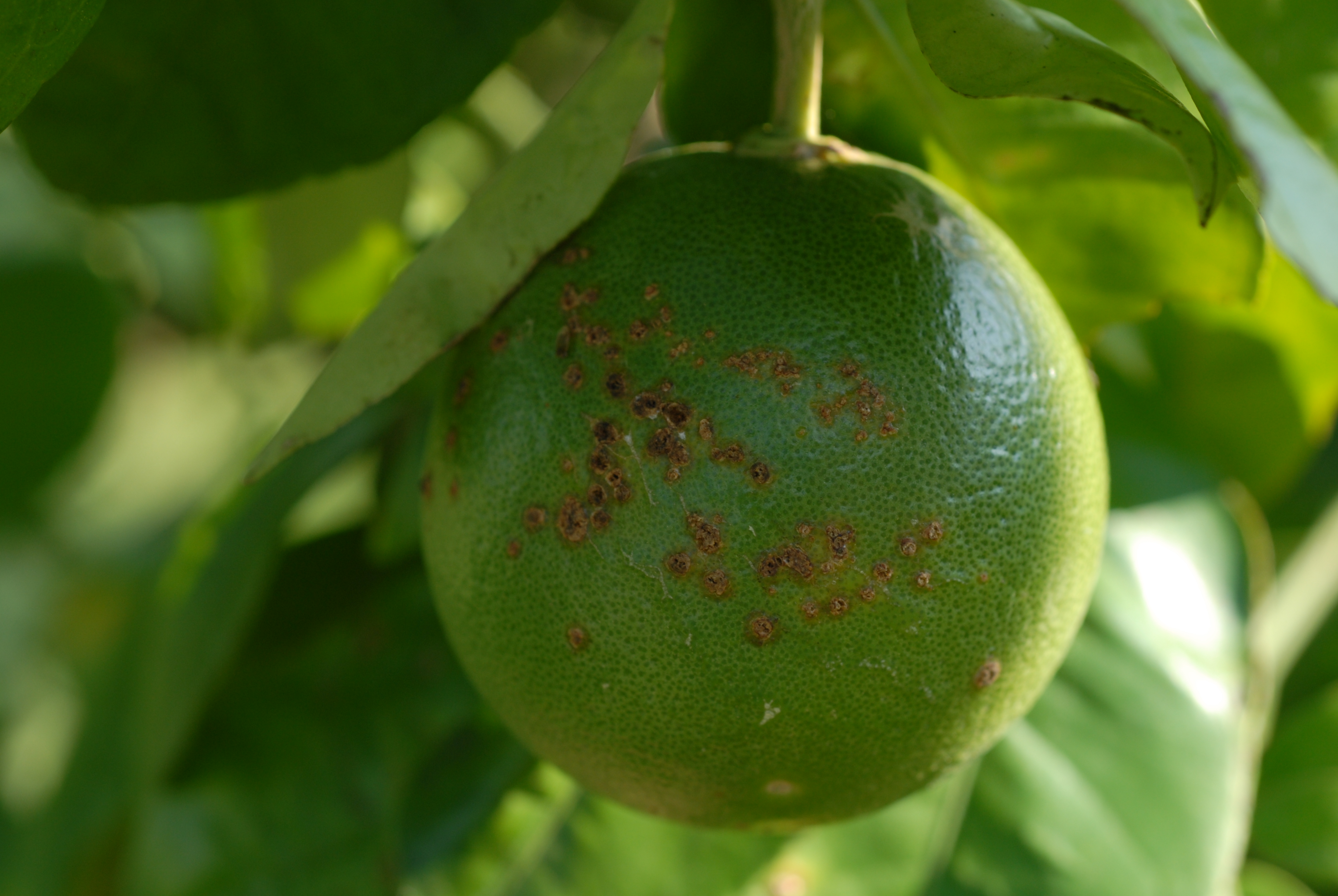 lesions on fruit