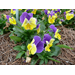 Pansies – Ornamental Plant of the Week for Dec. 7 2015