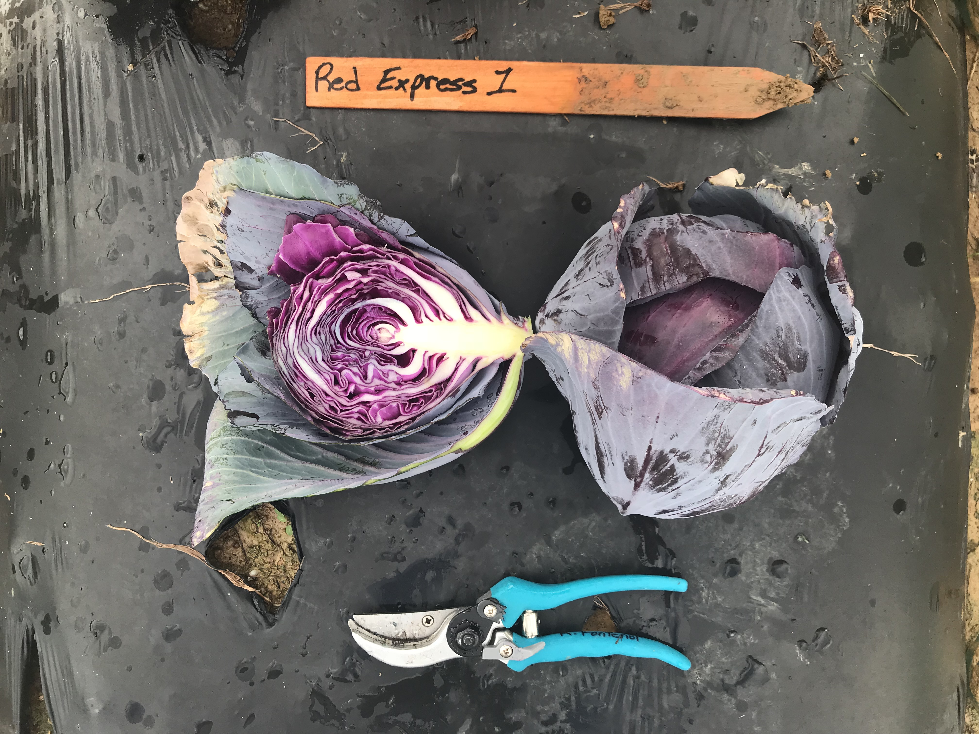 LSU AgCenter 2017-18 Red Cabbage Variety Trial