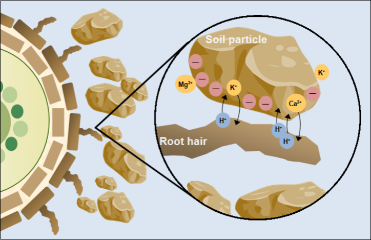 Cation exchange capacity between root hair and soil particlespng