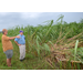 Sugarcane gets hit, but sweet potatoes and rice dodge major storm damage